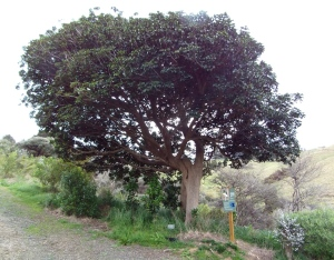 puriri tree 2014