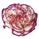 carnation-1